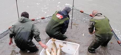 Fisheries Netting and Electro Fishing, Removal of Fish
